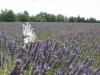 Lavendelfeld mit Segelfalter