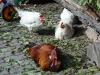 Glückliche Hühner bei Strada