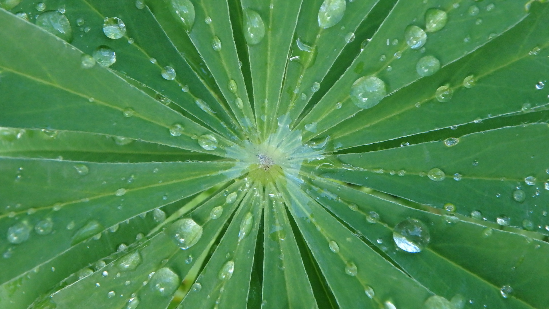 Blatt einer Lupine mit Wassertropfen