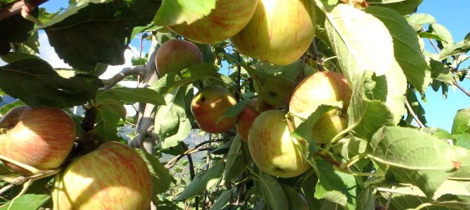 Im Radler- und Apfel-Paradies